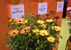 The Sunset Shadow - a new Osteospermum Akila variety of PanAmerican Seed. According to van Kampen, there are no osteos with these color combinations.