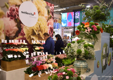 Selecta one again this year brought their cut flowers varieties and for the first time at the IPM Essen, they are presenting their expanded carnation assortment.
