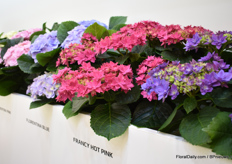 The double flowering hydrangeas of HBA at the booth of Kötterheinrich.